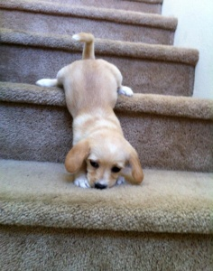 Puppy falling down stairs