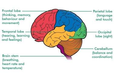 Brain-Function-Image